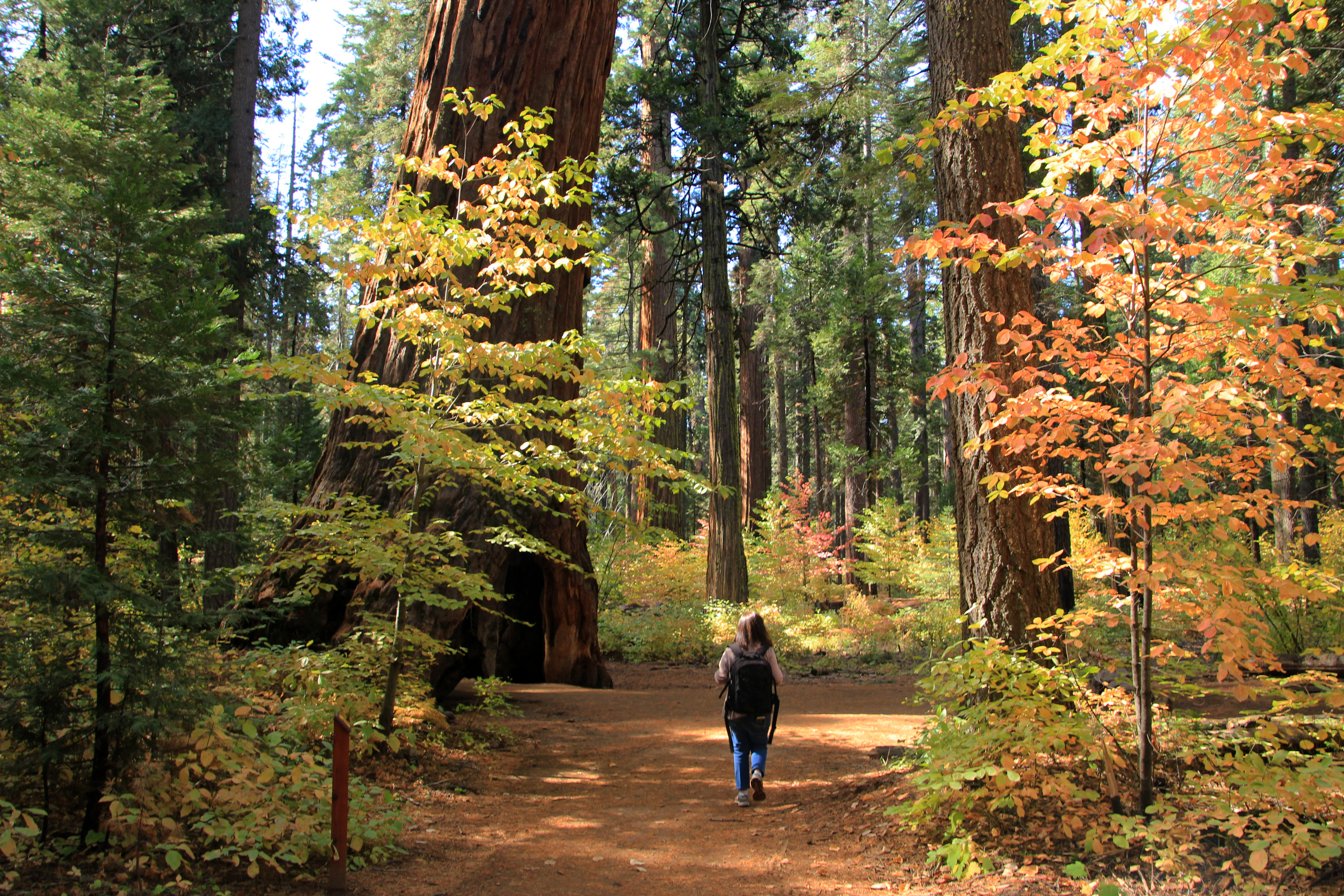 calaveras big trees state park sequoia shady hike stroll